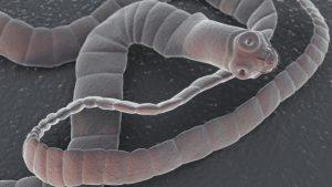 Бычий цепень – вид паразитических ленточных червей