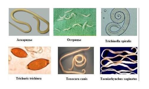 Разновидностей паразитов очень много