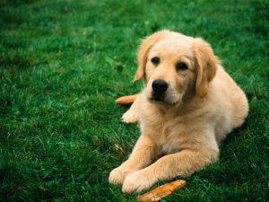 Основным источником заражения у человека являются щенки, реже взрослые собаки и коты