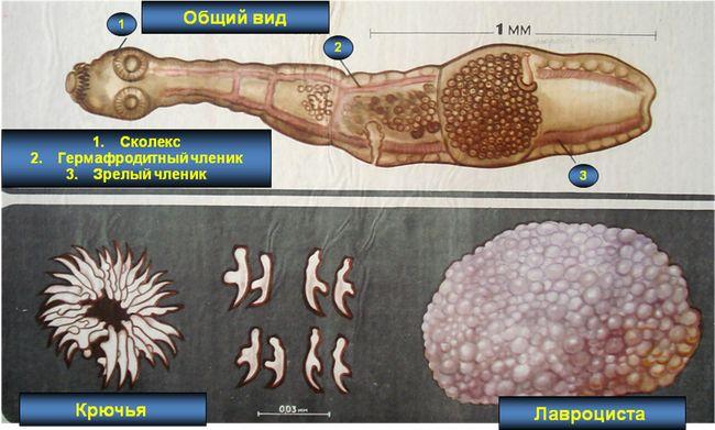 Люди заболевают альвеококкозом после случайного проглатывания онкосфер