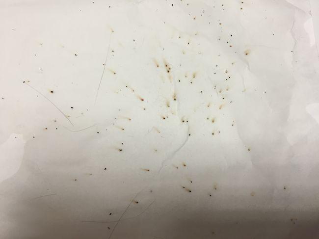 Блохи могут быть источником заражения ленточными гельминтами