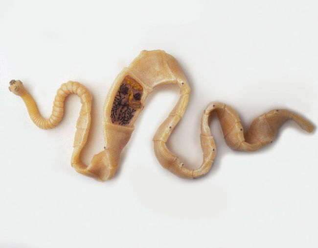 Worms of this type can be transmitted through flea bites