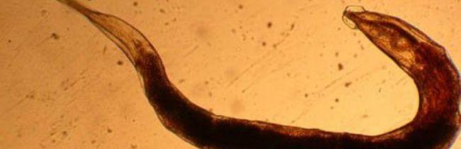 Глистная инвазия относится к распространенной группе заболеваний среди людей и животных