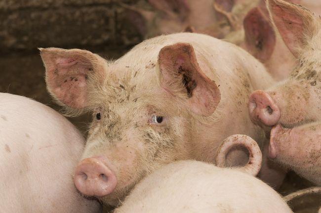 Яйца свиного цепня попадают в организм человека, через сырое или плохо термически обработанное свиное мясо, где впоследствии раскрываются в личинок.