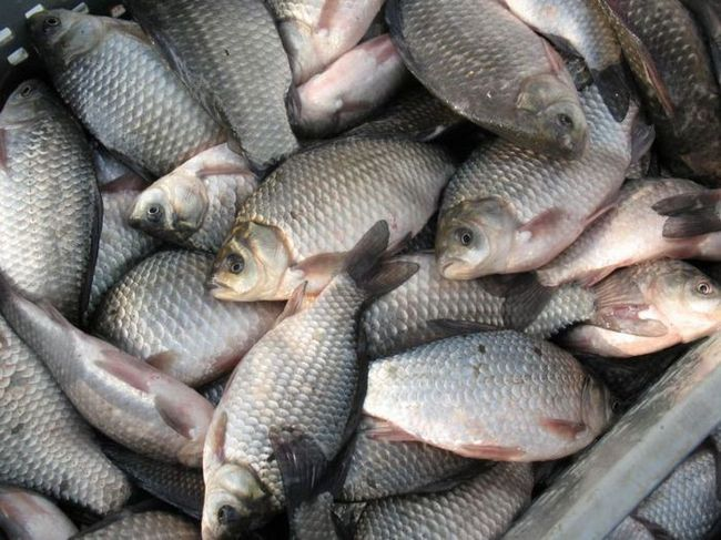 Описторхозом страдают люди, часто употребляющие в пищу речную рыбу без надлежащей термической обработки