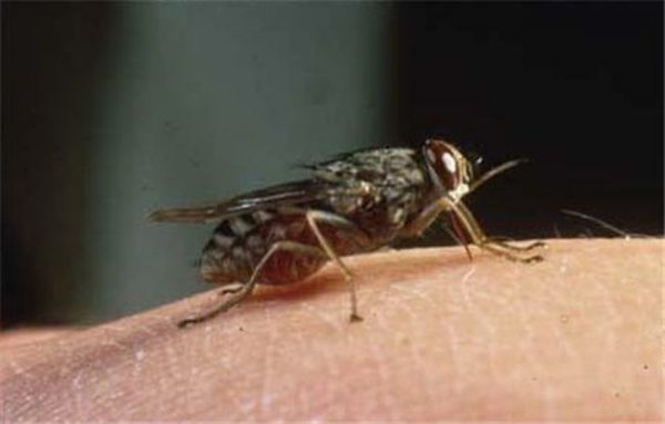 Сонная болезнь распространена в африканской саванне и безлесных пространствах