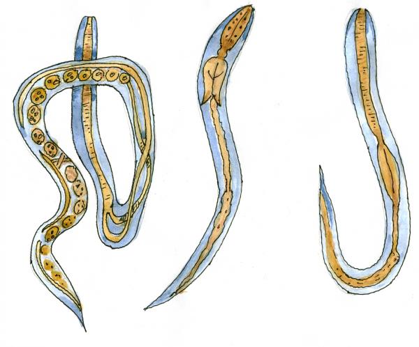 Угрица паразитирует в основном в 12-перстной кишке
