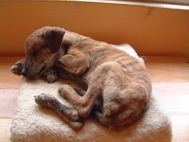 Чумка у собак, или болезнь Карре, является смертельно опасной болезнью домашних животных, которая характеризуется ужасными симптомами и не менее ужасными последствиями вплоть до смерти