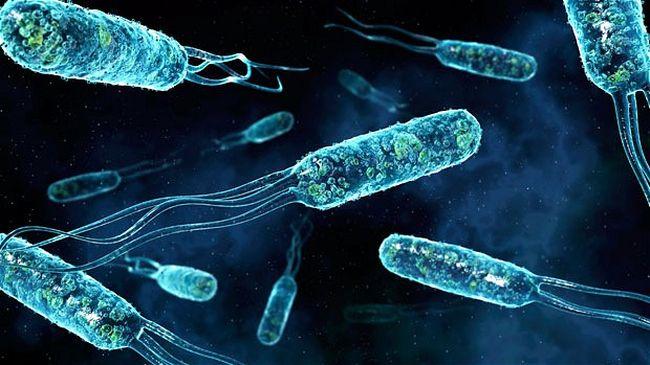 Возбудитель брюшного тифа – бактерия под названием Salmonella typhi