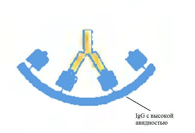 Цитомегаловирус IgG с высокой авидностью