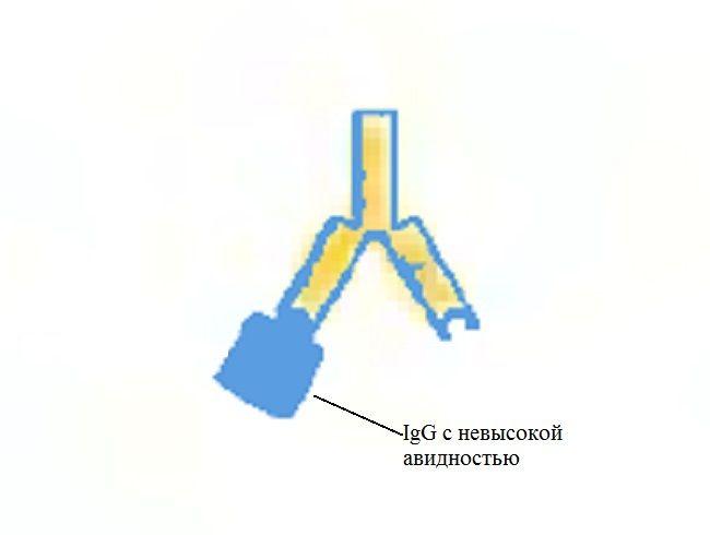 Цитомегаловирус IgG с низкой авидностью