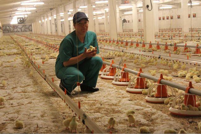 Птичий грипп чаще всего возникает на птицефермах