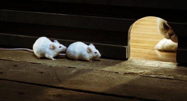 Во все времена лучшим защитником дома от мышей был и остается кот.