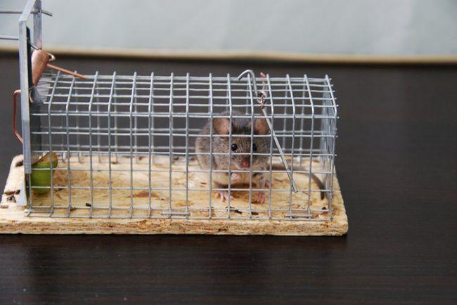 Поймав мышь в подобное устройство ее можно отнести подальше от дома и выпустить на свободу.