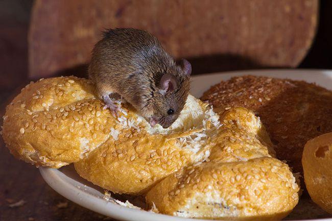 Продукты питания в открытом доступе - главный фактор, который привлекает мышей.