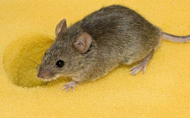 Мыши - это довольно частые гости в частных домах. Но избавиться от них все же можно.