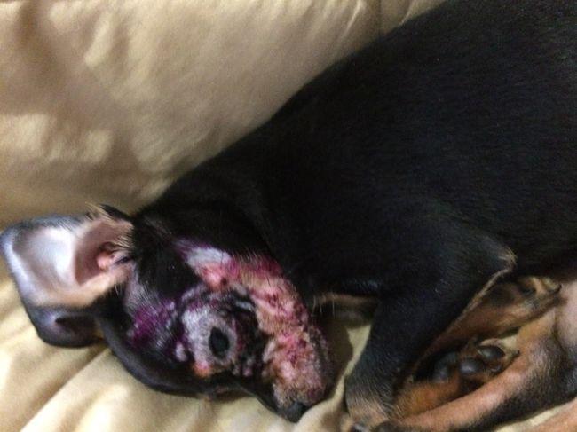Щенки подвержены сильному распространению лишая, который может охватить всю голову собаки