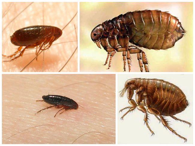 Блохи - это паразиты, которые питаются исключительно кровью