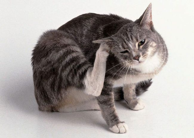 From fleas cats often begin to itch severely