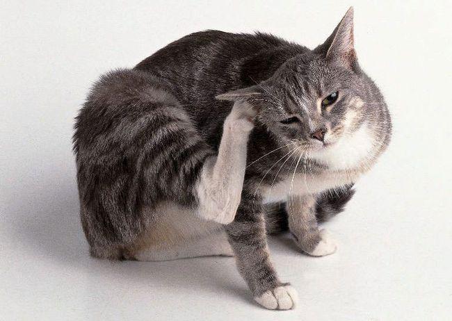 Из-за блох кошки начинают часто сильно чесаться