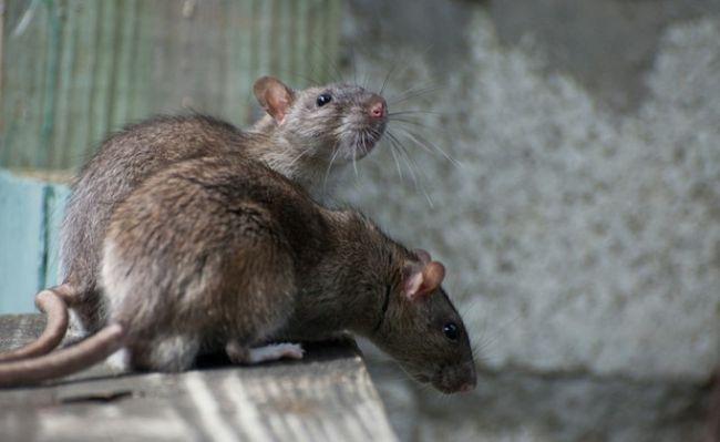 Нашествие крыс - довольно серьезная проблема