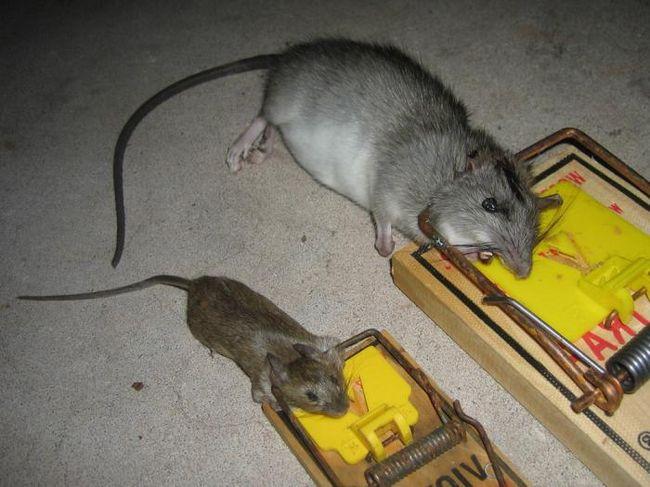 Ловушки справляются со своей работой хорошо, но крыс после этого необходимо утилизировать самостоятельно