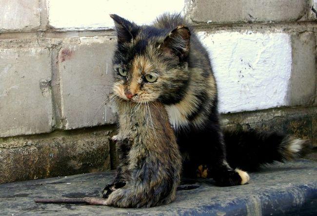 Кот - один из лучших методов борьбы с крысами