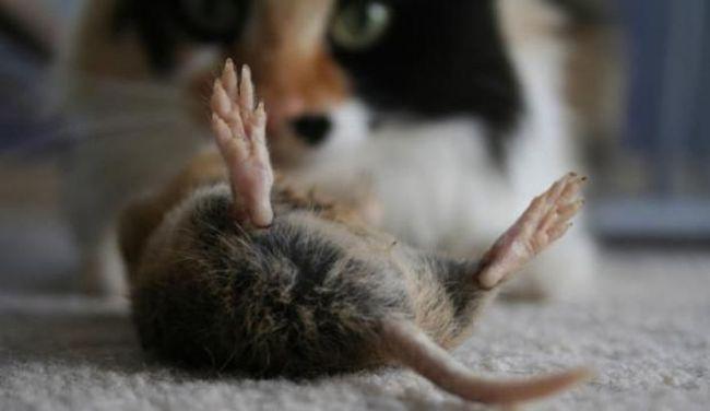 Лишь запах кота может навсегда отпугнуть крыс из дома