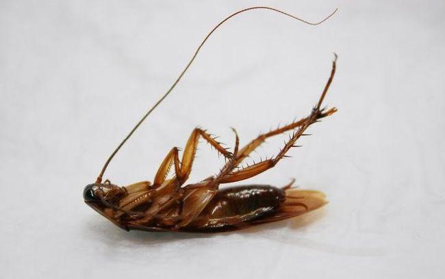 Вывести тараканов из дома - задача не из простых, но справиться с ней все же можно