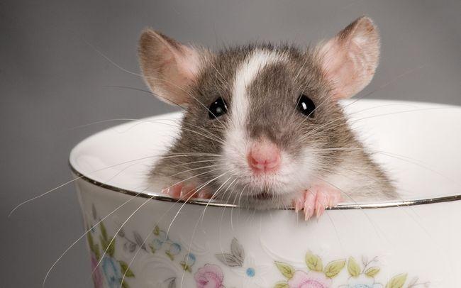 Мало кто любит крыс, так что их появление во сне также не приносит никакой радости
