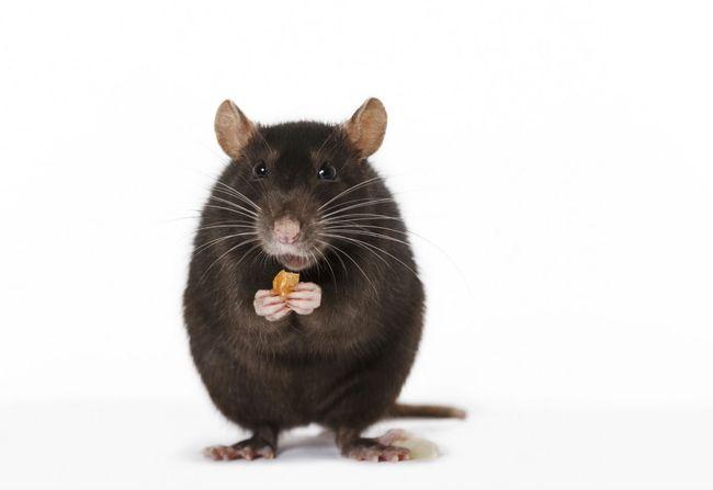 Укус крысы во сне - это плохой знак, который сулит заболевания