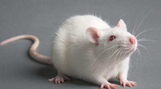 В разных сонник появление белой крысы во сне трактуют по разному. Это или проблемы с деловыми партнерами или же легкое достижение определенных целей