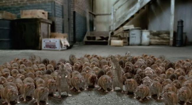 Много крыс - много неприятностей