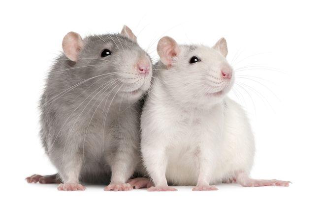 Если снится серая крыса, то самое время прислушаться к мнению руководства