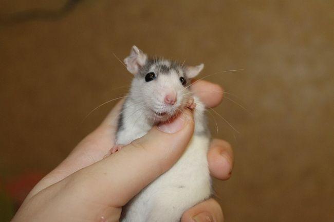 Если вы во сне напали на крысу, то в реальной жизни победите своего врага