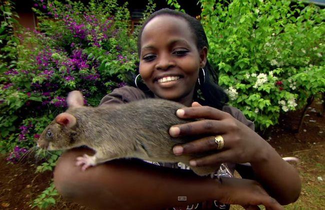 Крысы являются переносчиками лептоспироза