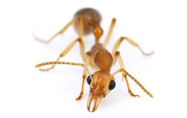 Появление муравьев в квартире - это довольно серьезная проблема, так как вывести их совсем непросто