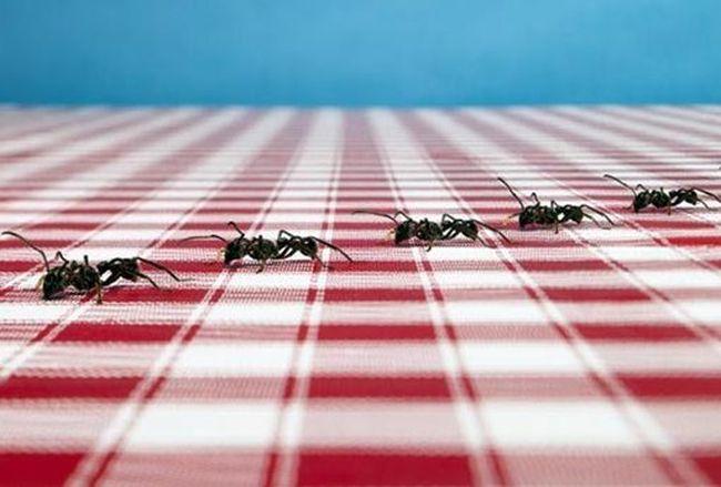 С любым видом муравьев методы борьбы абсолютно одинаковые