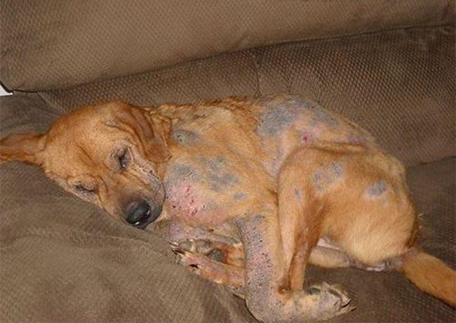 Подкожный клещ у собаки может привести животное к множеству заболеваний