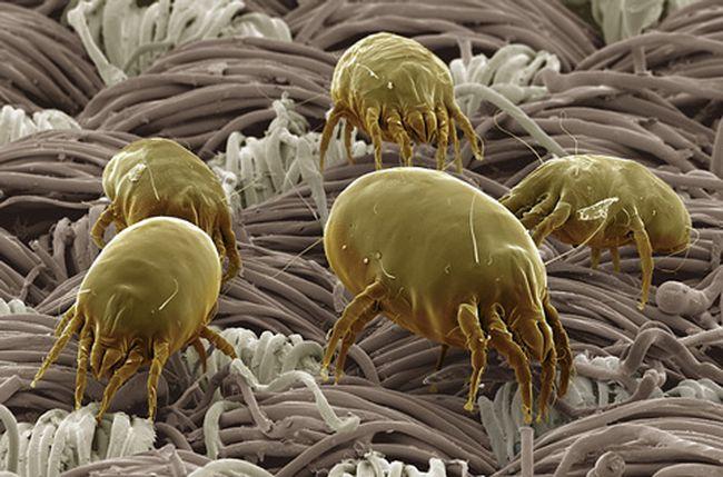 Постельный клещ может паразитировать на поверхности кожи людей и животных