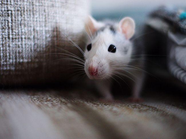 Если снятся мыши, то это чаще всего к проблемам