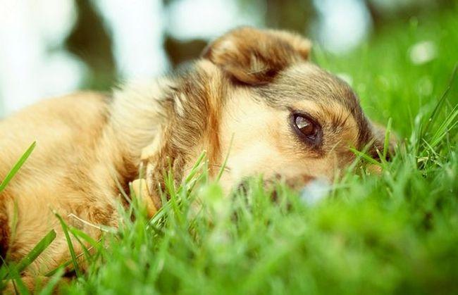 Клещ может укусить собаку на прогулке