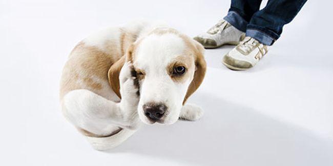 Если во сне блохи покусали домашнего пса - возможны финансовые проблемы