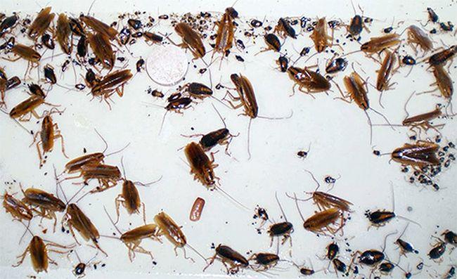 Много тараканов во сне - грядут доходы и успех
