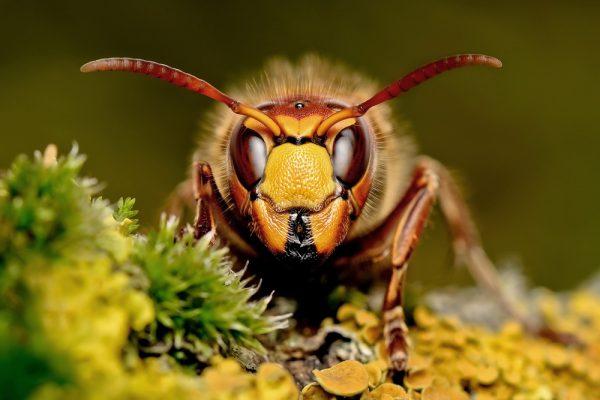 Шершень является очень опасным крупным перепончатокрылым насекомым, семейства осиных. Укус шершня представляет угрозу для здоровья человека и даже может привести к летальному исходу