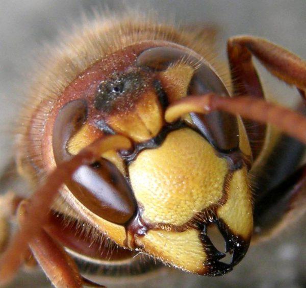 Если шершни нападут на человека, то они укусят его и впрыснут яд, который приведет к серьёзной аллергической реакции. Укусы шершней куда болезненнее, чем пчел или ос.
