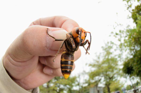 Эти насекомые становятся агрессивными в моменты опасности. Нельзя допустить, чтобы вблизи жилья шершни разводили целые колонии. Когда насекомых становится слишком много, в агрессивном состоянии крупные осы могут угрожать жизни людей
