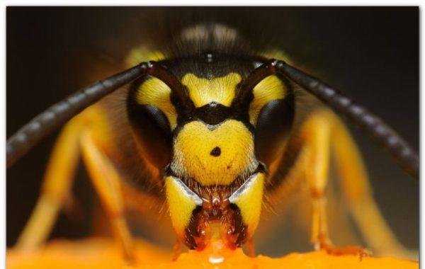 Как все общественные насекомые шершни общаются между собой. В случае угрозы гнезду самцы охранники выпускают феромон тревоги, заставляющий весь рой собраться вместе и атаковать врага. Не забывайте о защитном костюме