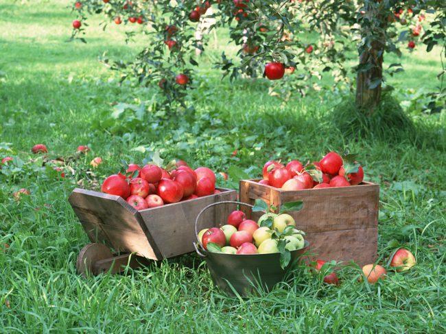 Уход за садом включает: обрезка крон яблонь, подкормка, пересадка, нанесение на стволы деревьев побелки и уход за почвой.