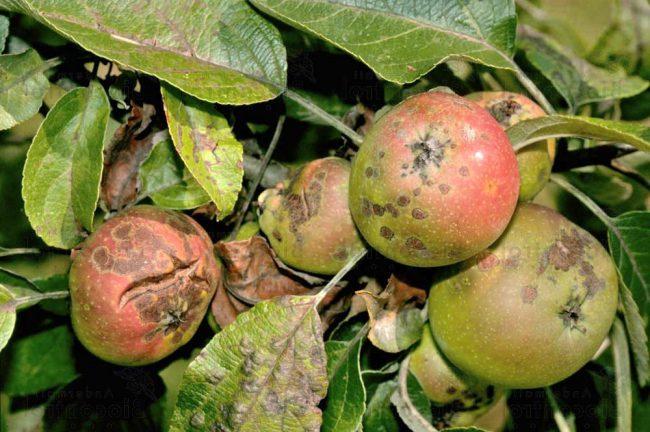 Триходермин. Повышает устойчивость растения, часто применяется для обработки яблонь от парши и мучнистой росы, справляется с различными видами грибковых болезней. Препарат улучшает состояние почвы и повышает урожайность деревьев. Входящее в состав вещество безопасно для организма человека. Триходермин подходит для всех этапов ухода за яблоней.